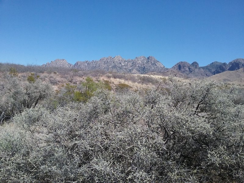 Blooming little leaf sumac and Organ Mountains