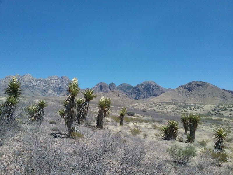 Banana Yuccas and Organ Mountains