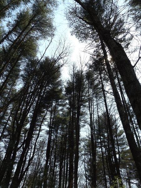 Wonderful trail through some very nice pine woods.