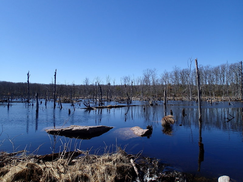 A Beaver Pond - note the beaver mound center left.