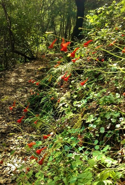 Uvas Canyon California Fuschia blooming along the trail to Black Rock Falls.