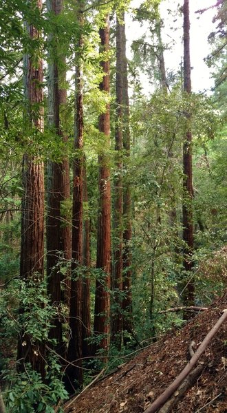 Stately redwoods along the upper reaches of Alec Canyon Trail.