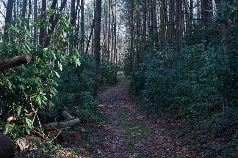 The trail is well covered with shade, especially through areas with thick rhododendron.