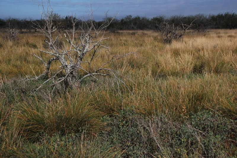 South Texas Prairie Scrubland