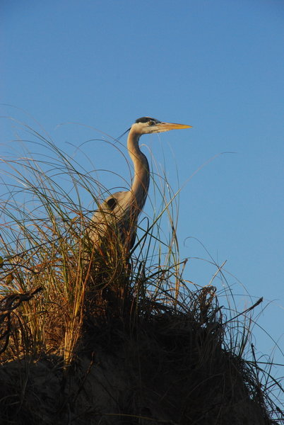 Great Blue Heron Along the Beach near Boca Chica.