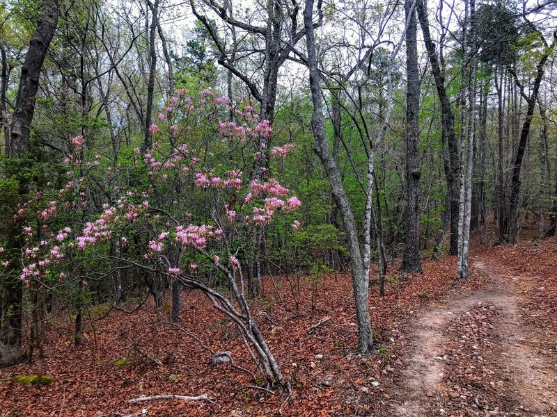 Fresh Spring Azaleas on the trail
