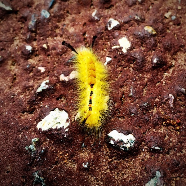 A caterpillar on the volcanic rock.