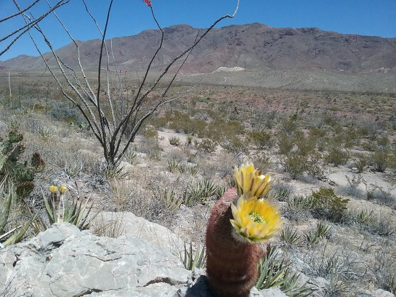 Texas Rainbow cactus in bloom and view of the Franklin Mountains
