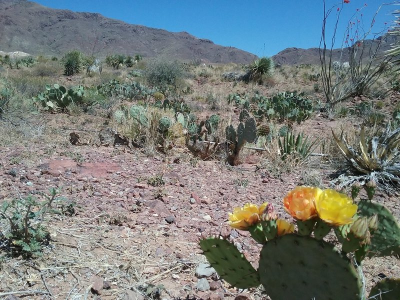 Opuntias in bloom and View of the Franklin Mountains