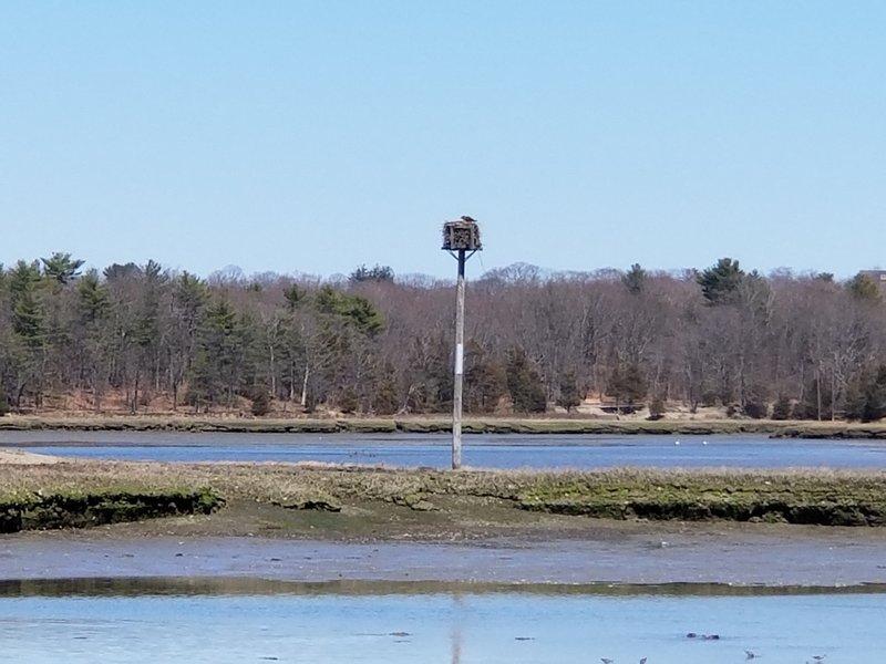 An Osprey tending its nest