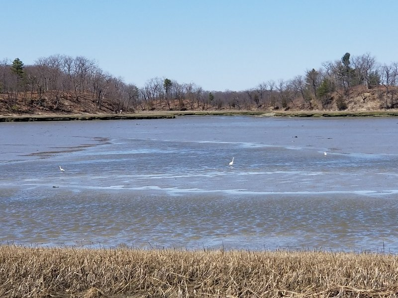 Egrets on the Weymouth Back River at low tide.