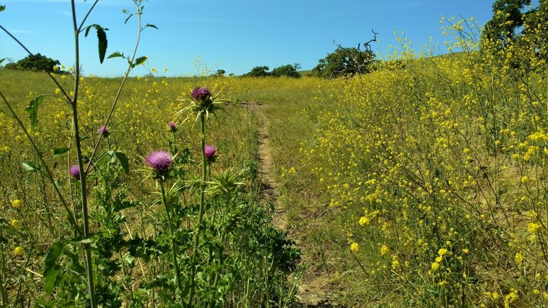 Bright yellow mustard and purple milk thistle grow shoulder high along Townsprings Trail by late April.