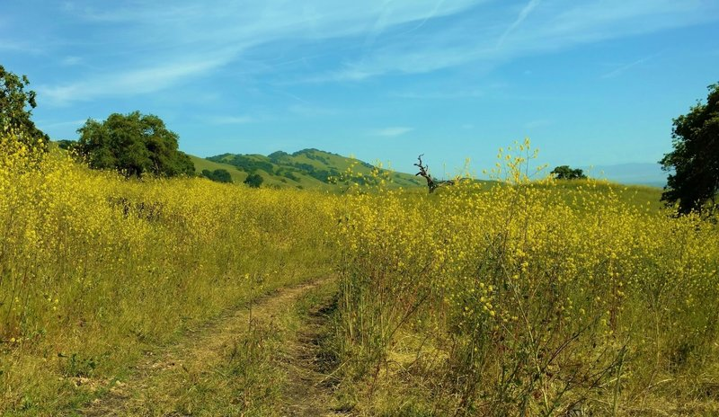 Can you find the cows in the thick, head high yellow mustard of late April along Townsprings Trail?