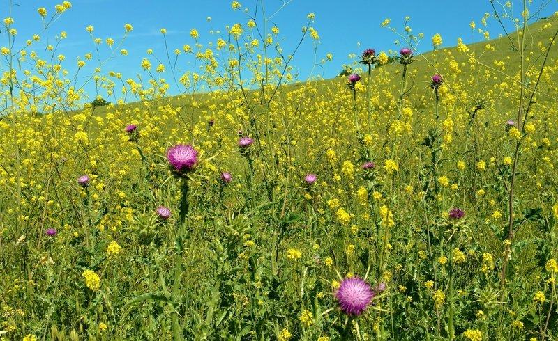 Purple milk thistle amid the yellow mustard along Rancho San Ysidro Trail in late April.