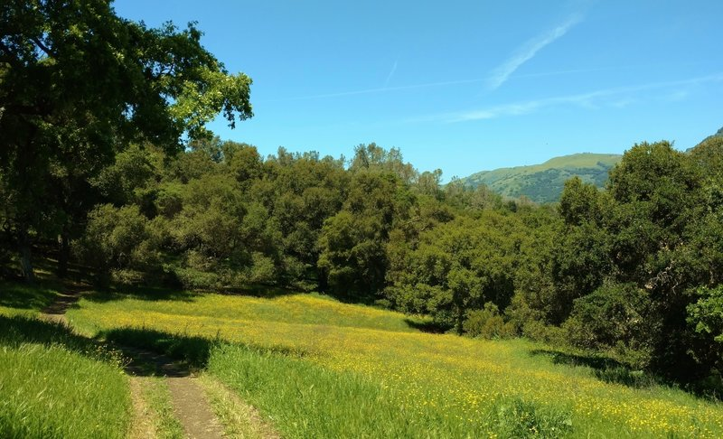 A small meadow covered with California buttercups, along Calaveras Trail. Palassou Ridge across Coyote Lake is peeking out on the right.