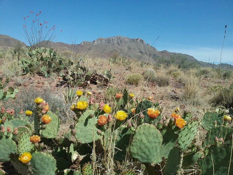 Looking southeast on the trail. Opuntias in bloom