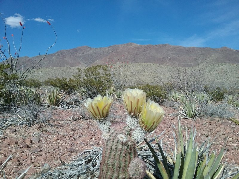 Looking east from the trail and Texas Rainbow cactus.