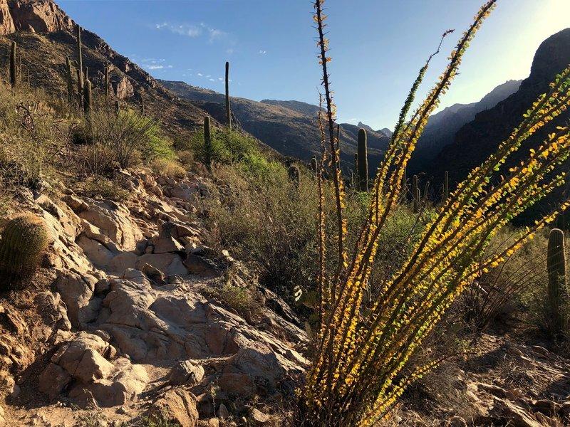 Morning ocotillo sun in Pima Canyon