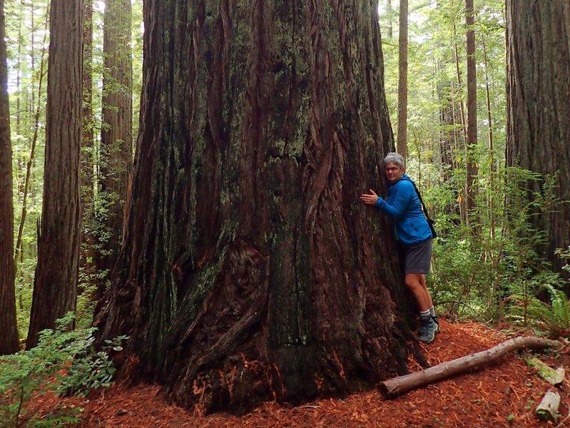 One of the big coast redwoods