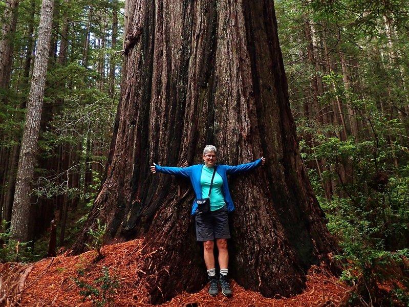 Another big redwood