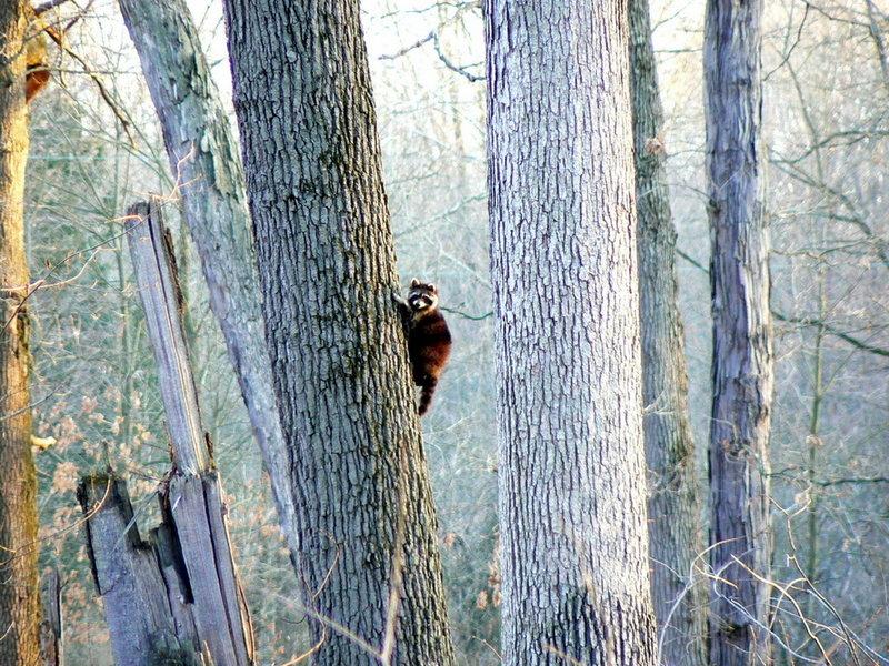 Raccoon on a tree.