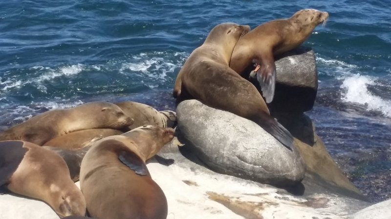 Seals and sea lions line the rocky shores of La Jolla Cove.