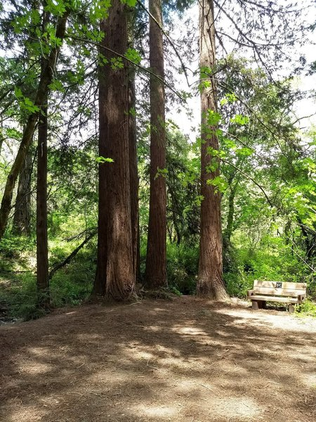 Redwood Clearing