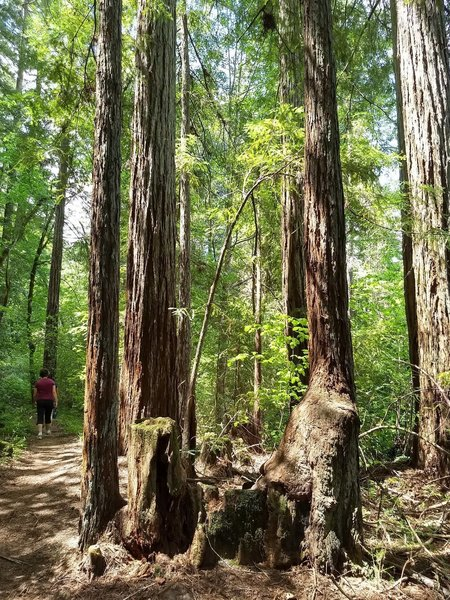 Redwoods along the trail
