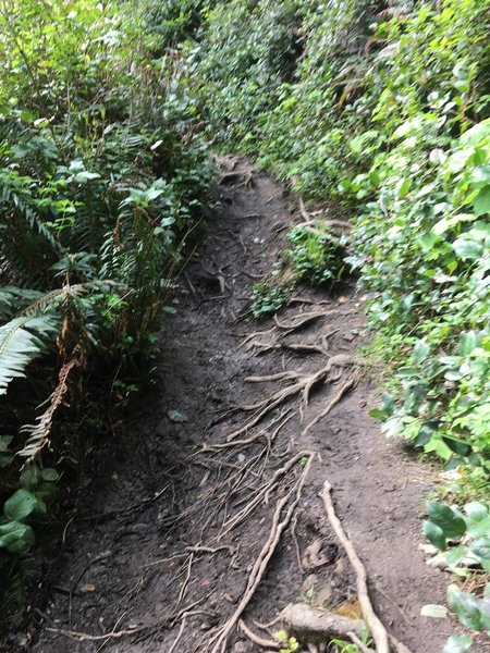 Easily 20% of the trail is exposed roots like this.
