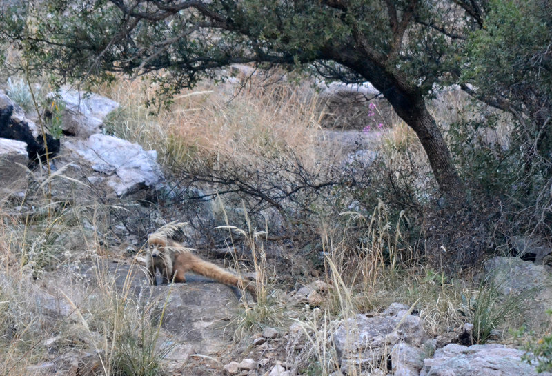 White-nosed Coati are common in Sycamore Canyon