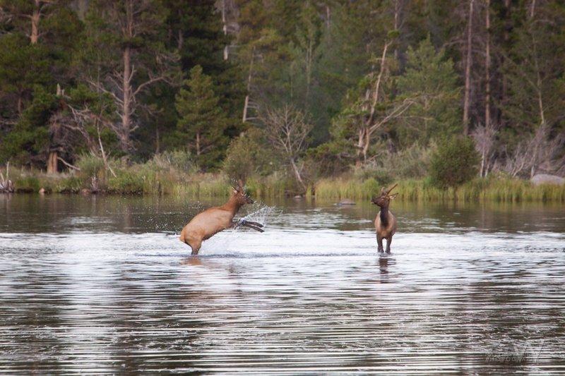 Young elk bucks playing in Sprague Lake