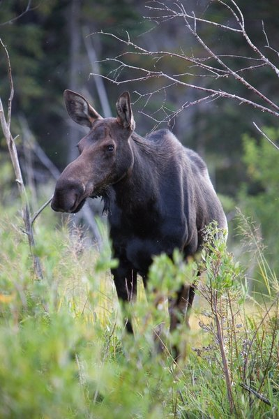 Mama moose drinking near Sprague Lake
