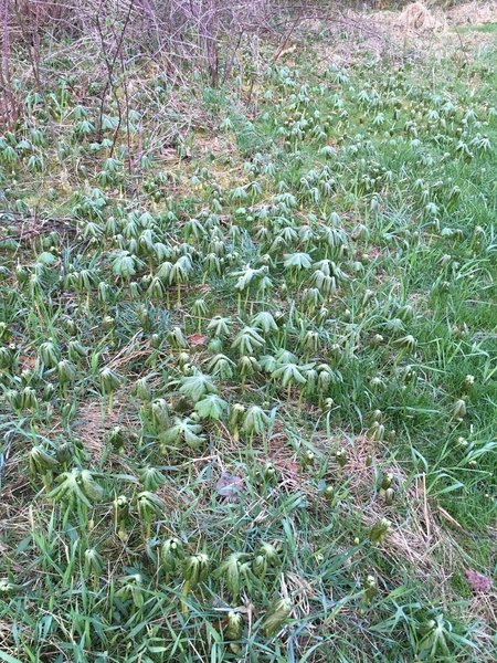 More Mayapples in one place than I have ever seen