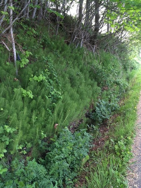 Horsetail grows abundantly along this trail.