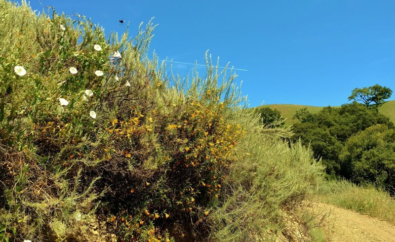 Morning glories - a white variety, and orange monkey flower along Gaviota Trail in early May.