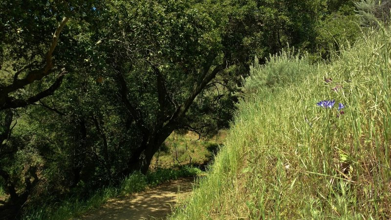 Rounding a bend into a shaded trail section by a seasonal creek on Gaviota Trail. The bluish purple flowers are Ithuriels Spears.