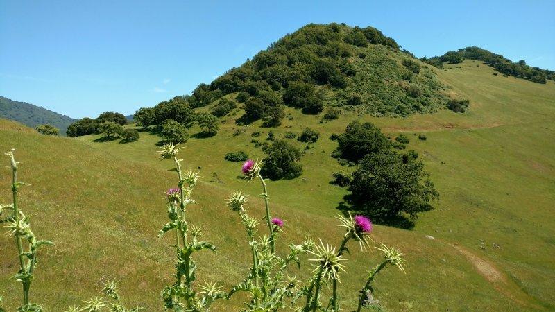Admiring Mummy Mountain and purple milk thistle from Gaviota Trail.