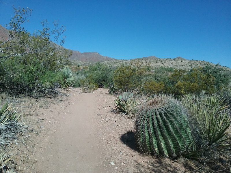 Looking NW on the trail. Huge barrel cactus.