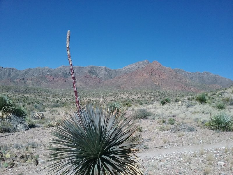 Looking west from the trail. Sotol starting to bloom in the foreground.