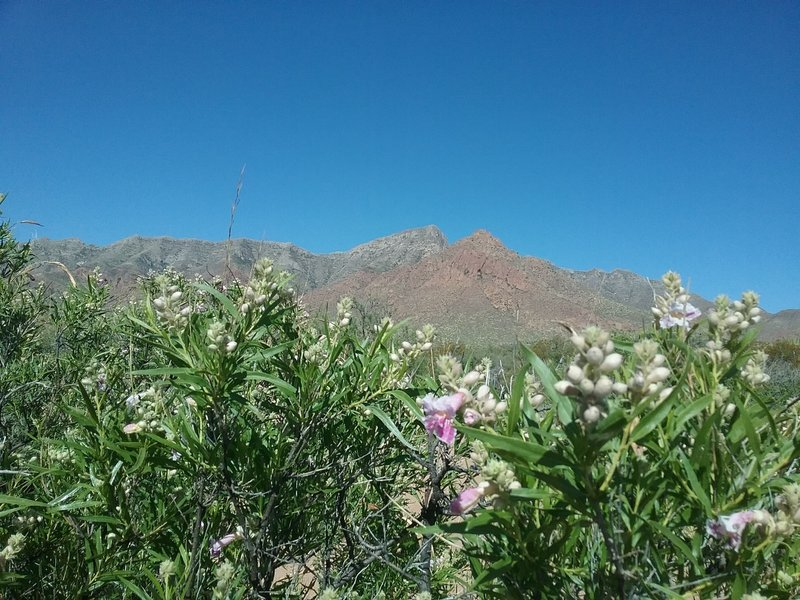 View of the Franklin Mountains from the trail, with some chilopsis getting ready to bloom.