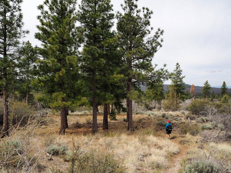 A grove of Ponderosa pines along the trail