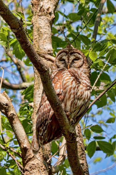 Radnor Lake - Barred Owl