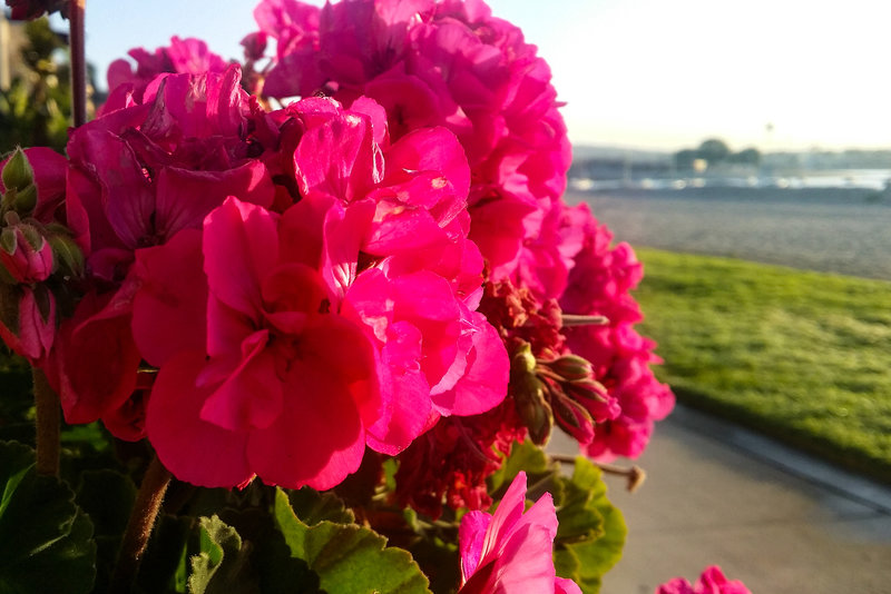 Tons of beautiful flowers line portions of Bayside Walk in typical California style.