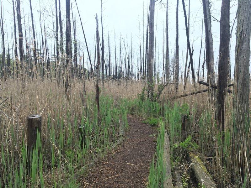 Singletrack through reeds and salt water marsh