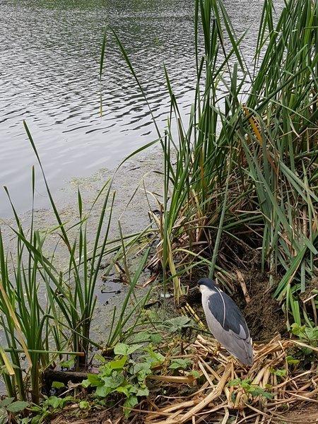Good birdwatching on the lake (heron)