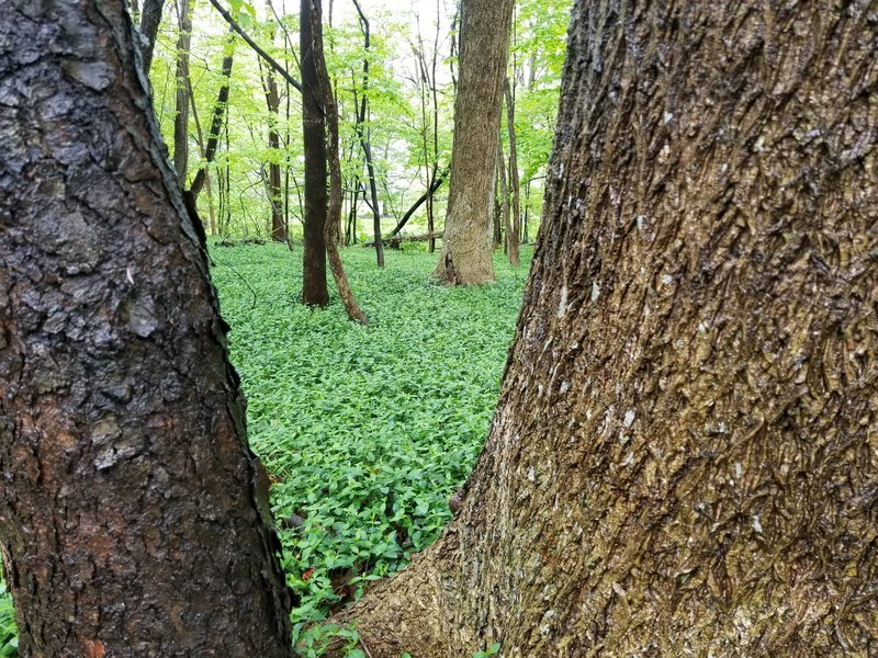 Interesting ground cover. Wonder it if is invasive.