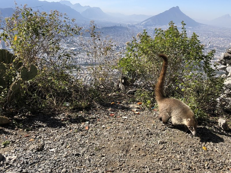 Coati at Las Antenas!