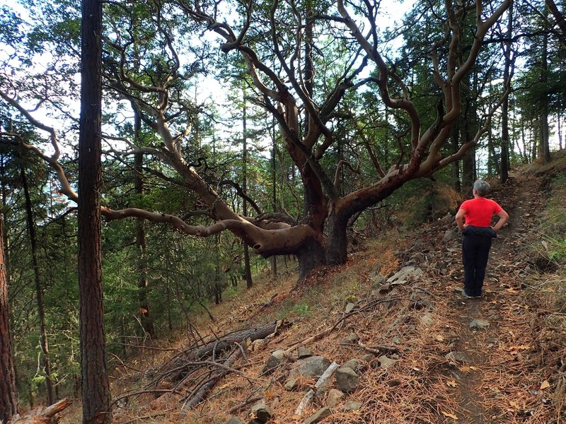 The large, old madrone along the trail