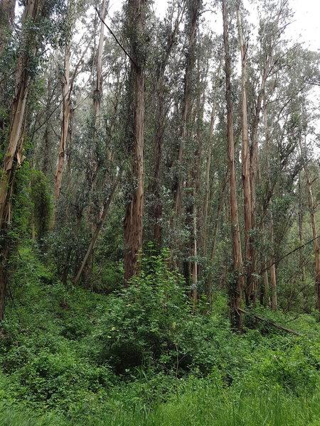 Escondido trail goes through a eucalyptus forest. Beware of poison oak!