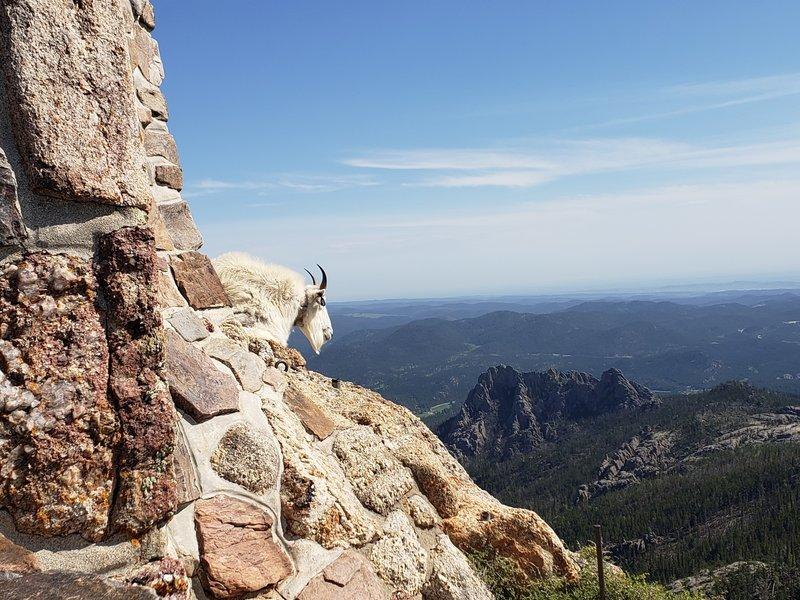 Tagged goat #98 at the summit of Black Elk Peak